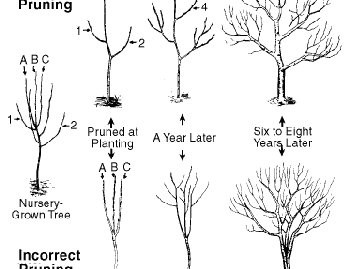 Fruit Tree Pruning Image 2 - 350